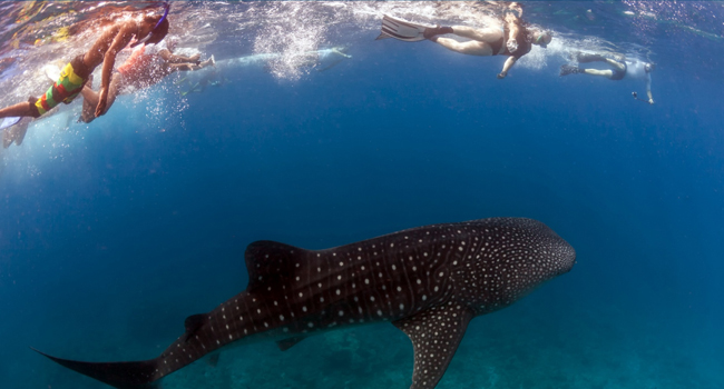 La Paz Baja sur, Mexico, Yacht Charters and Boat Rentals, Swimming with the whale shark